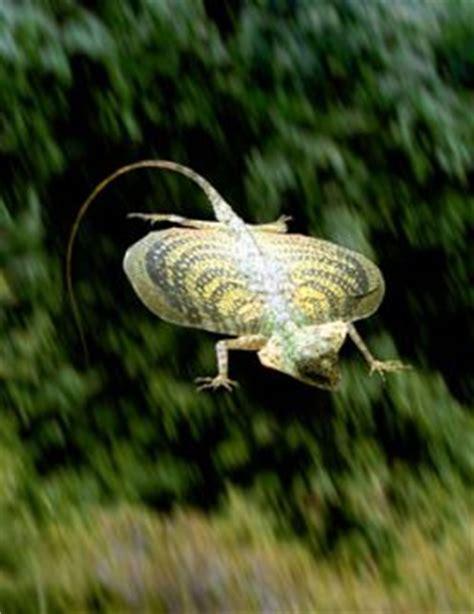 lucertola volante drago volante o lucertola allevamento e scheda