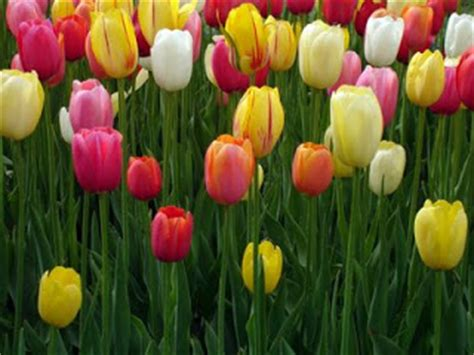 Pupuk Untuk Bunga Tulip teknik supaya tanaman terus berbunga