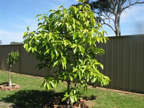 How To Create A Beautiful Backyard Michelia Alba Pak Lan Grafted Tree Michelia Alba