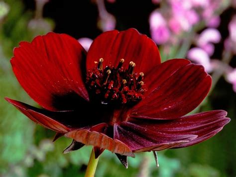 chocolate cosmos chocolate cosmos flowers hd wallpaper 2015