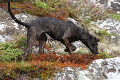 how to a hound to hunt how to a liveoutdoors