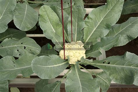 Pupuk Untuk Tanaman Bunga Kol inilah 5 langkah menanam bunga kol sistem hidroponik dft