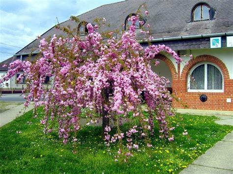 alberi ornamentali per giardino alberi ornamentali alberi alberi ornamentali