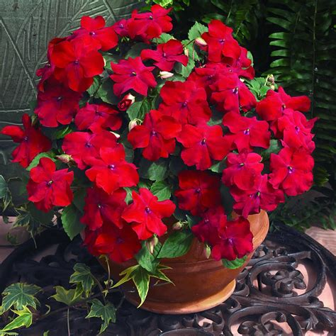 Flowers Plants by Plants Amp Flowers 187 Impatiens Holstii