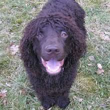 water spaniel puppies for sale water spaniel puppies for sale