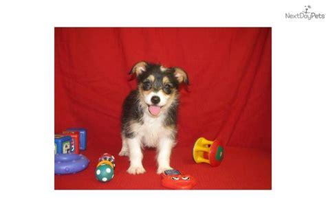 corgi poo puppies for sale meet blaze a corgi pembroke puppy for sale for 300 corgi poo pembroke