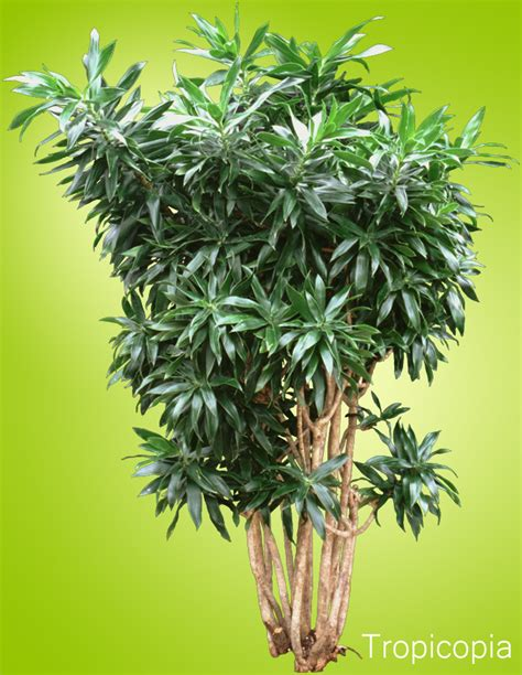 dracaena reflexa plant houseplant care tips