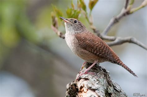 house wren song call voice sound
