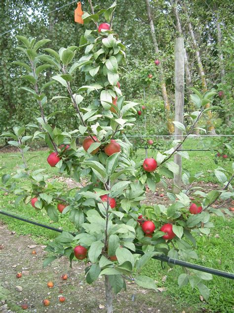 fruit tree supplies apple autento