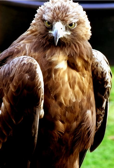 amazing golden eagle pictures magment