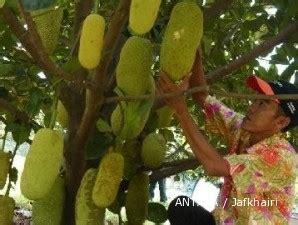 membuat lu hias pohon bisnis bibit pohon nangkadak tak semanis rasa buahnya