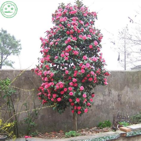 camelia sasanqua in vaso buy wholesale camellia japonica plant from china