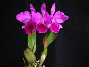 hoa phong lan việt vietnam orchids cattleya