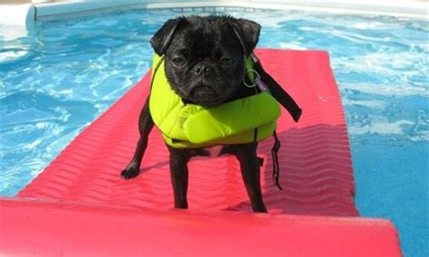 when is it safe to take puppy outside is it safe to let my swim in the pool canine skin solutions