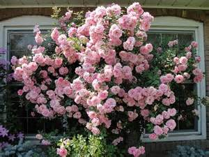 best climbing rose per color top rated ars climbing roses