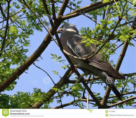 tree doves dove in tree royalty free stock photography image 14176857