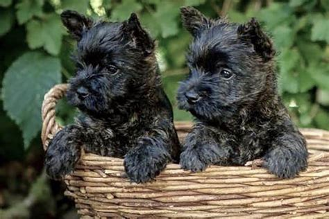akc cairn terrier puppies for sale cairn terrier puppies for sale akc puppyfinder