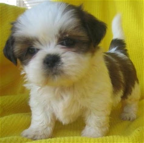 shih tzu pupies shih tzu puppies photos puppies pictures