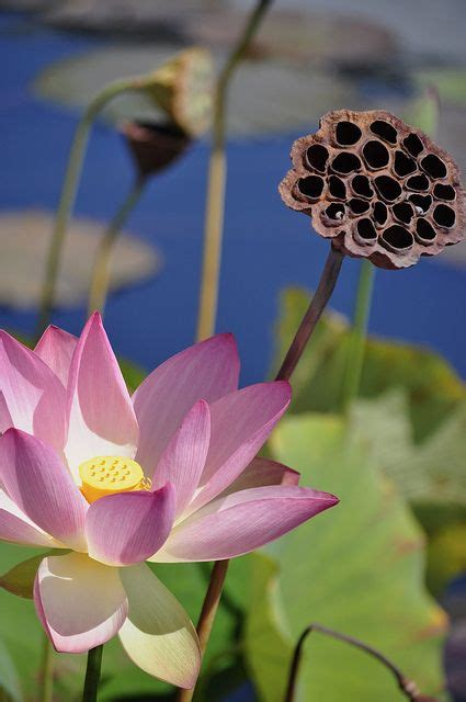 What Colors Do Lotus Flowers Come In Lotus Blossom And Pod Water Garden
