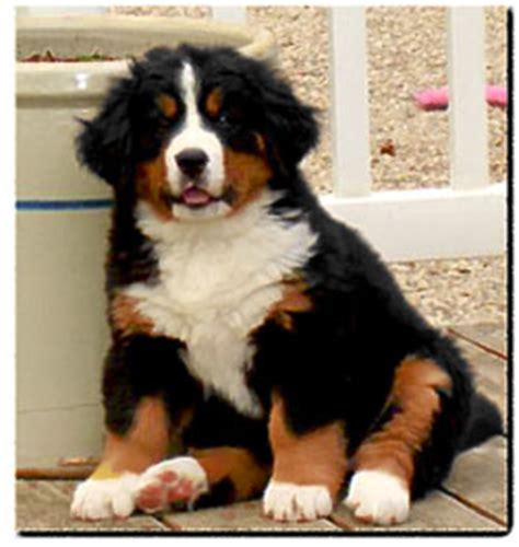 bernese mountain puppies mn tri color aussie mix likely reply 6 democratic underground