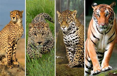 imagenes de jaguar y leopardo quot aprendamos de los felinos quot 161 te invito a conocer las