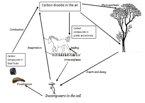 Carbon Cycle Essay by Carbon Cycle Wizznotes Free Gcse And Cxc Tutorials Past Papers And Quizzes