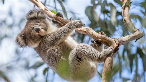 8 Animals From Australia Id To See by Hewan Australia Tourism Australia