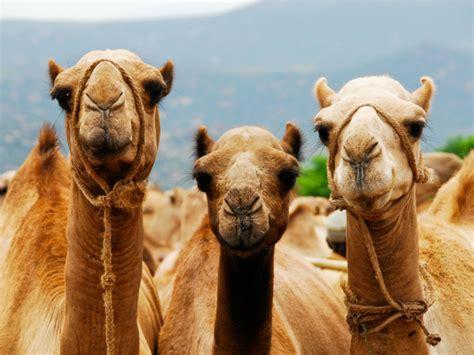 fotos reyes magos en camellos curiosidades sobre los camellos medio de transporte de