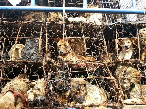 dogs in china five reasons why yulin festival must stop
