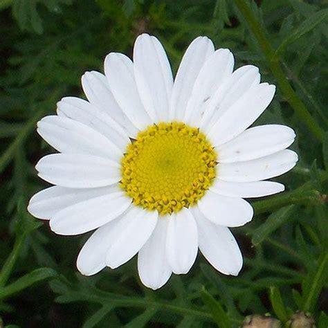 imagenes margaritas blancas fotos de flores margaritas haciendofotos com