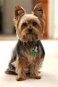 yorkie pics with hair 50 damn cute yorkie haircuts for your puppy hairstylec