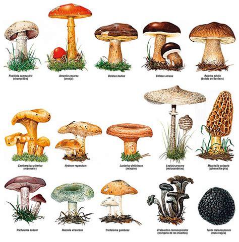 imagenes hongos ingles fiestasislascanarias setas y hongos