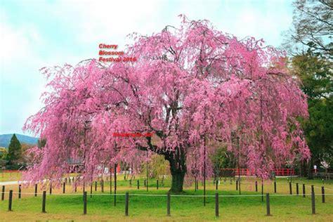 Best japanese cherry blossom tree photos 2017 blue maize