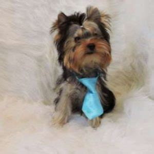 what of yorkies are there should you get a teacup yorkie small animal planet
