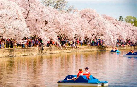 cherry blossom festival dc 5 things you need to about the national cherry