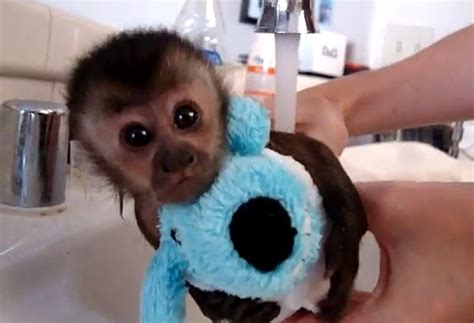 monkey in a bathtub video monkey getting a bath is the cutest thing you will