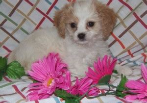 free puppies altoona pa dogs pennsylvania free classified ads