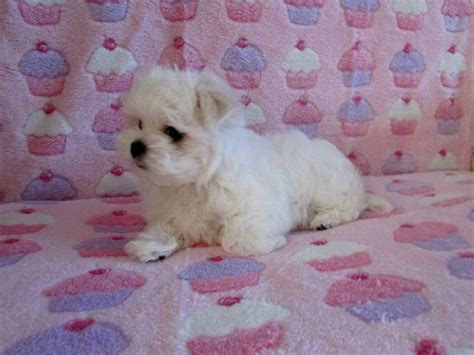 white teacup yorkies sale white teacup yorkie puppies sale breeds picture