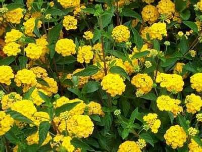 Nanas Madu By Golden Effort lantana montevidensis new gold new gold trailing