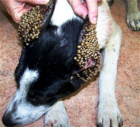 tics in dogs how to get rid of ticks on dogs fast naturally and the best way dogs cats pets