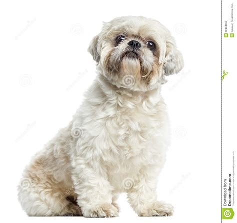 how to my shih tzu puppy to sit shih tzu sitting isolated stock photo image 32494960