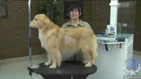 grooming golden retriever grooming the golden retriever learn2groomdogs