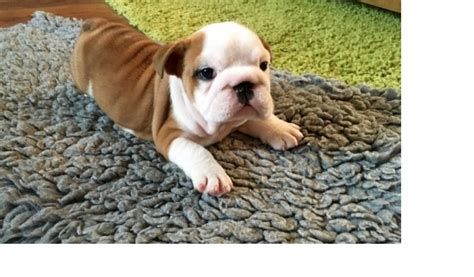 puppies for sale 100 dollars puppies for sale 100 dollars in ut for sale united states 2