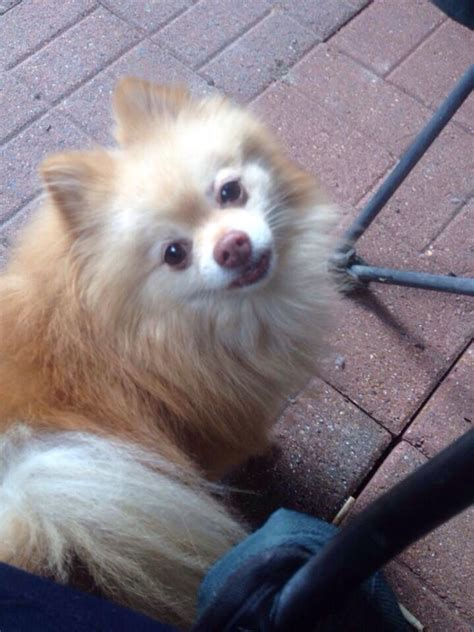 found pomeranian 17 best images about pomeranian us lost registry on lost pets and