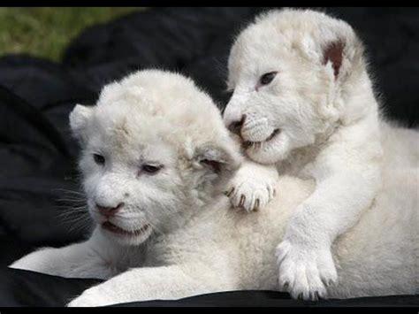 imagenes de leones asesinos las 25 mejores ideas sobre leones blancos en pinterest