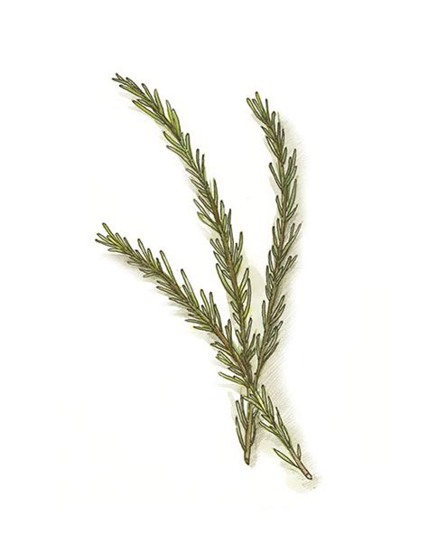 rosemary painting botanical illustration garden herbs