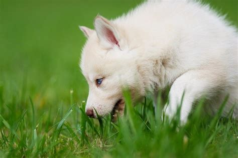 why does a eat grass why do dogs eat grass reasons and interesting curiosities