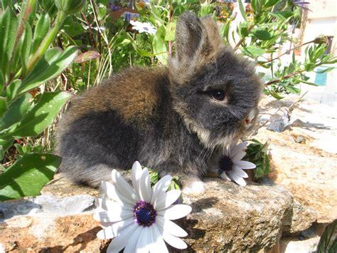 b07csr31fb la tete du lapin bleu alimentation lapin et maladies lapins