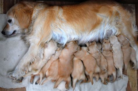 birth for dogs heroic gives birth to 15 puppies