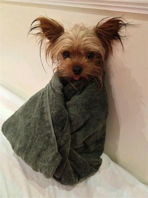 how often should you wash your yorkie gotta those yorkies i ll be the when i grow up